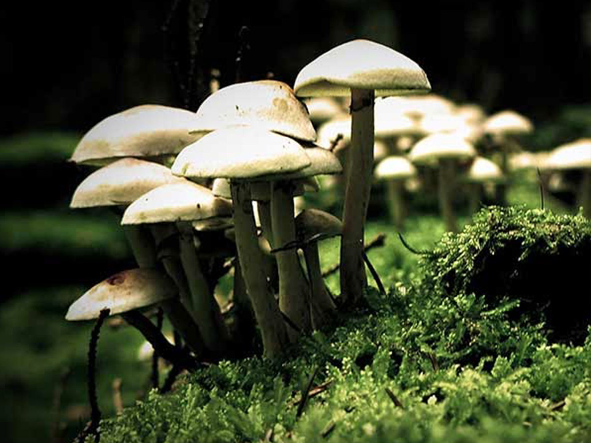 Kojic Fungus Mushroom